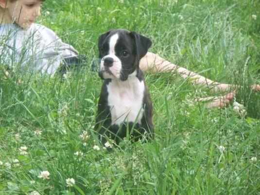 male and female boxer puppies available for good home