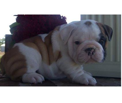 Gorgeous English Bulldogs Puppies:contact us at 409-420-7820