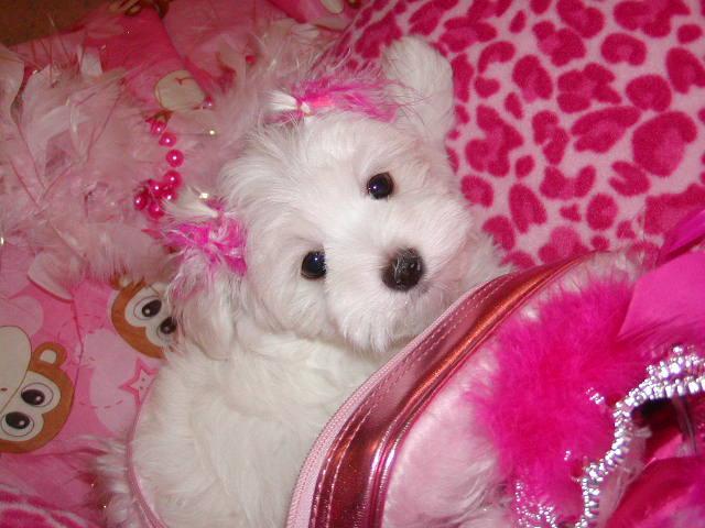 Adorable AKC Maltese Puppies