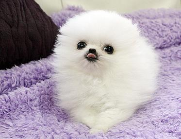 Adorable AKC Pomeranian Puppies