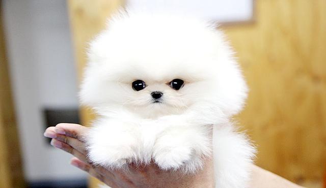 Milkish P.O.m.A.R.A.N.I.A.N puppies!!!(401) 552-3916