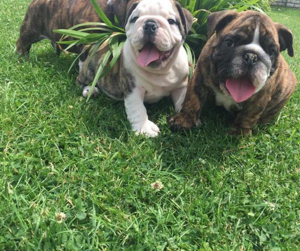 Gorgeous English Bulldog puppies....