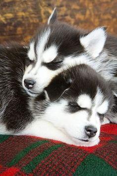 CUTIE S.I.B.E.R.I.A.N H.U.S.K.Y Puppies: contact us at (443) 272-1772