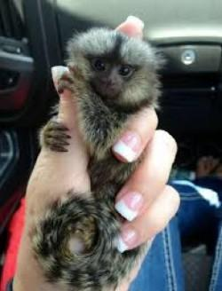 Capuchin monkeys babies  available for you  (5054313750)