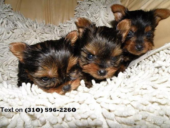 Gorgeous Tea-cup Yorkies Pu.ppies ) Need Homee