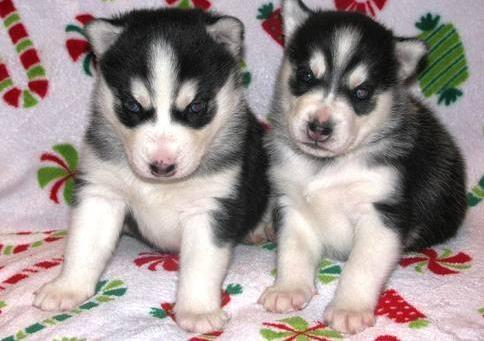 Beautiful Male and Female Puppies(215) 664-7045