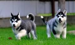 FREE Quality siberians huskys Puppies:contact us at (757 ) 809 -2831