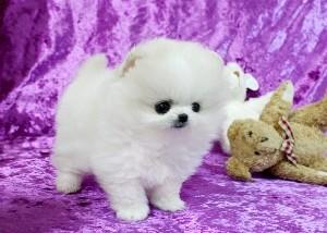 ?Po.me.ra.ni.an Pupp.y For Fee, Ready Now 11 Weeks Old (916) 674-2357