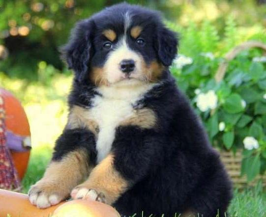 Cute Bernese Puppy For your home