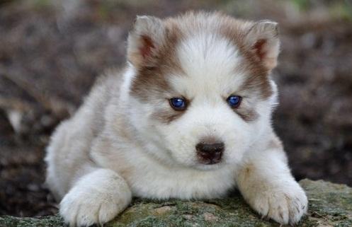 CUTE S.I.B.E.R.I.A.N H.U.S.K.Y Puppies: contact us at (302) 400-5305.