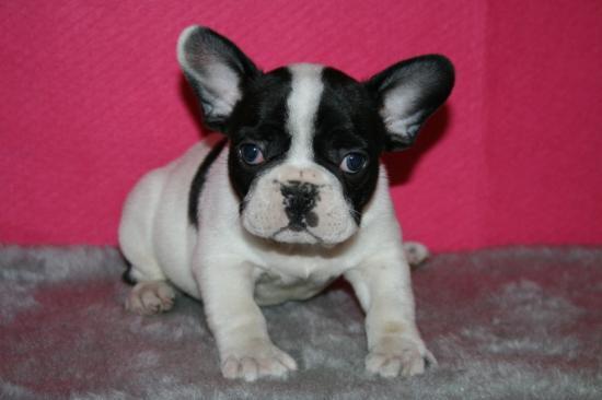 FREE FREE F.R.E.N.C.H B.U.L.L.D.O.G puppies!!  (443) 261-5864