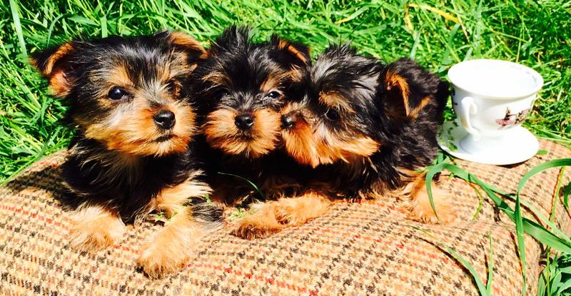 Two FREE CUTE Pedigree yorke P.u.p.p.i.e.s for Loving Homes!!!(770) 232-6588