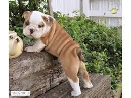 FREE*FREE ACTIVE AWESOME BOTH RAISED Fine M/F English B.u.l.l.d.o.g Puppies!!!(301) 463-7620