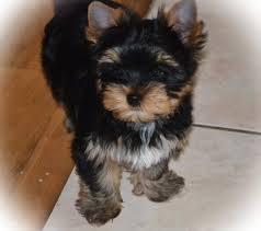 Cute Y.o.rks.hire Te.rrier Puppies$150!!!(240) 685-7598