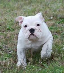 bulldog puppies ready  (443)2669242