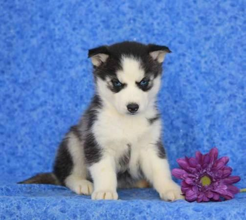 Blue eyes siberians huskys Puppies to good homes.