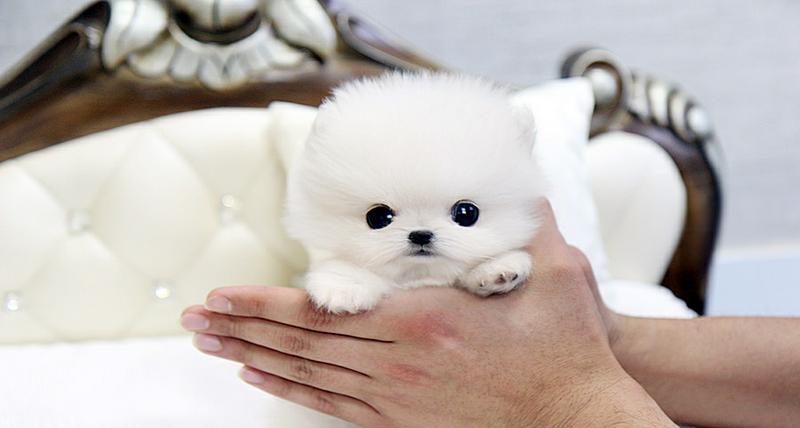 !!Male and Female Pomeranianss Puppies Available (443) 266-6841