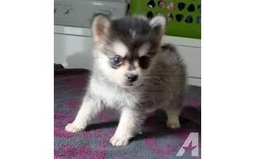 Gorgeous pomsky puppies looking for good homes (302)583-3421