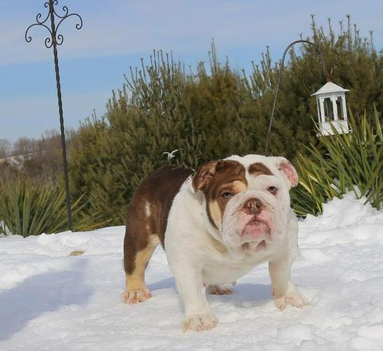 Rare, blue and lilac bulldog puppies for sale