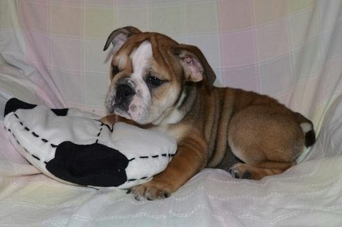 #  Quality E.N.G.L.I.S.H B.U.L.L.D.O.G Puppies Ready To GO Now:.... (240) 490 9147