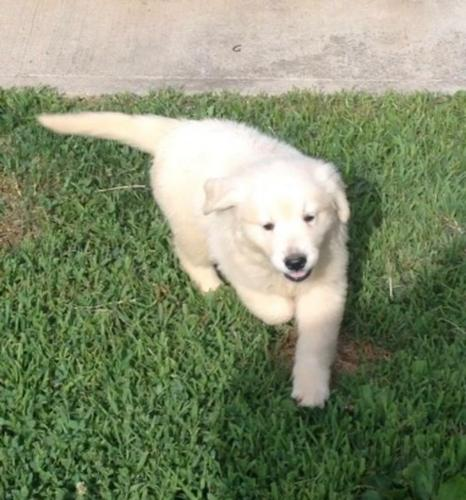 Top Quality Golde.n Retrieve.r Pups . 505 x 657 x 8012 Both males and females puppies.