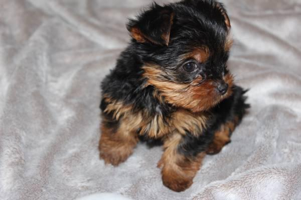 Gorgeous Tea-cup Yorkies Pu.ppies ) Need Hom  (214)-506-7405