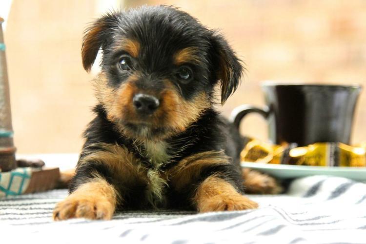 $200 Tea Cup ,yorkiess puppies (203) 296-0014