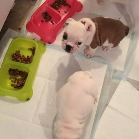 FREE CUTE Pedigree Englishh Bulldoggs P.u.p.p.i.e.s for Loving Homes!!!(612) 231-1213