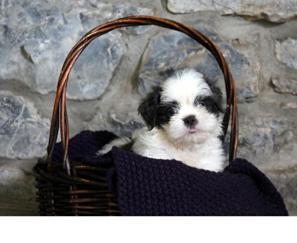#Akc registered Shih tzu puppies available for Rehoming  (570) 392-3591