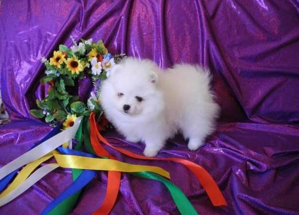 ?Po.me.ra.ni.an Pupp.y For Fee, Ready Now 14 Weeks Old (916) 674-2357