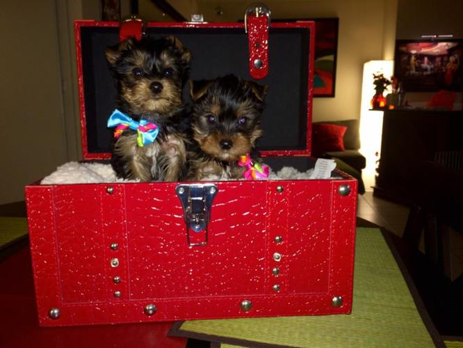 Quality Teacup Yorkies Puppies:....**