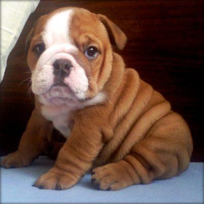 Cute E.n.g.l.i.s.h b.u.l.l.d.o.g Puppie.s (443) 403-7649