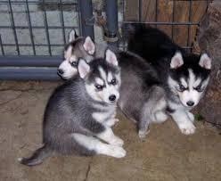 ??? FREE  Blue Eyes male and female Siberi.a.n hus.k.y Pu.ppies ) Need Hom ??? (707) 840-8141.