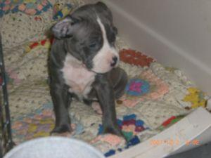 Affectionate M/F American P.I.T B.u.l.l. Puppies!!!(915) 257-9137