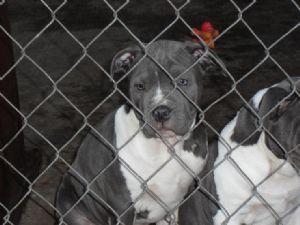 Affectionate M/F American P.I.T B.u.l.l. Puppies!!!(915) 257-9137