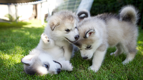 Quality siberians huskys Puppies:contact us at (301) 747-6492