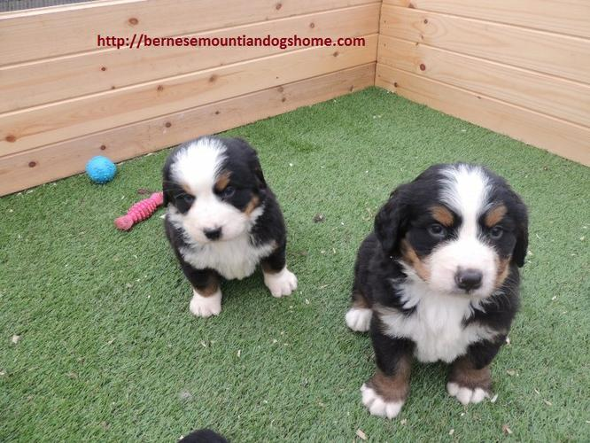 We have extraordinary B.M.D puppies Ready to go!