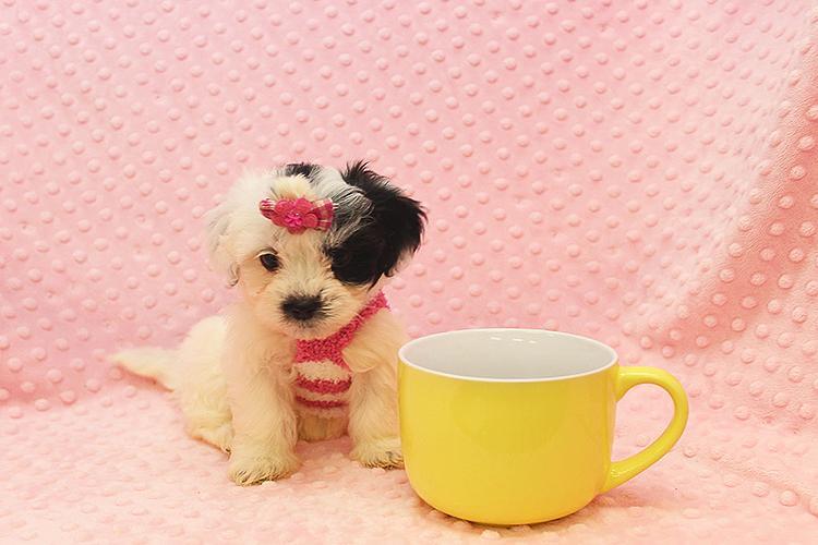 cutest shih-poo puppy