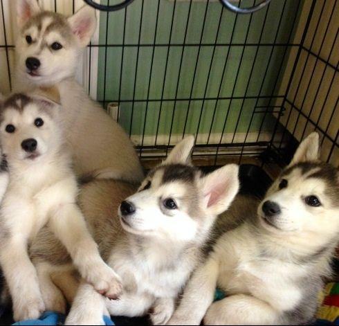 Ready SI.BE.RI.AN HU.SKY puppies