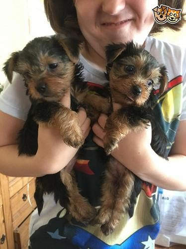 Cute Male And Female Y.O.R.K.I.E P.u.p.p.i.e.s for good homes