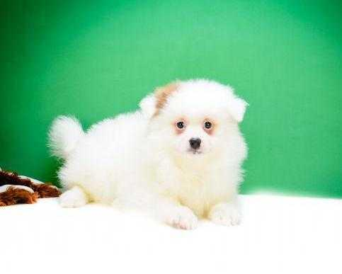 Beautiful Pomeranian Puppies for Adoption