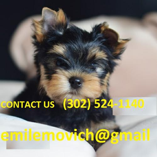 @A.do.R.A.bl.E Y.o.R.k.i.e P.upp.i.e.s For F.r.e.e 3 Months old Available@(302) 524-1140