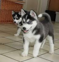 ?H.U.S.k.i.e P.upp.i.e.s For F.r.e.e, (757) 932-9625/Ready Now 12 Weeks Old #