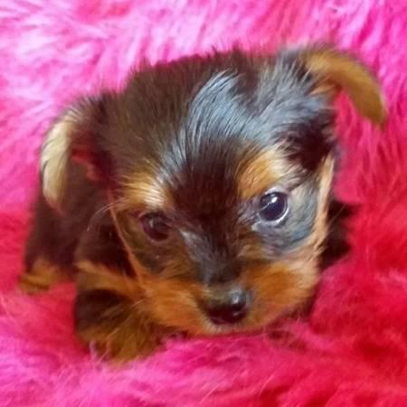 11 week old male and female Yorkshire Terrier Puppies Available
