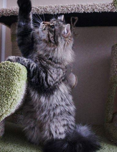 Siberian Kitten- Abigail ready to go.