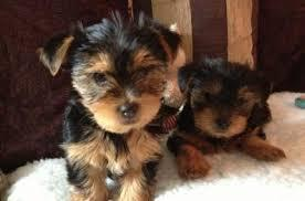 BEAUTIFUL Y.O.R.K.I.E.S Puppies: contact us at (515) 329-2625 any time