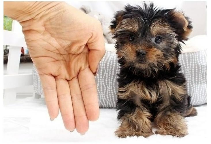 Yorkshire Terrier Pups.Ready to go into your home