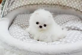 Cute Pomeranianss Puppies Available  (312) 841-7848
