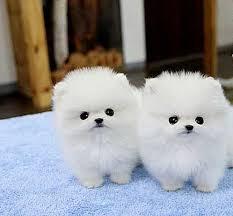 Healthy P.O.m.A.R.A.N.I.A.N puppies for free!!! (972) 483-5620