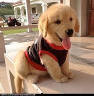 Healthy M/F G.O.L.D.E.N. R.E.T.R.I.E.V.E.R Puppies!!!